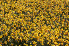 Field full with narcissus in the spring in Holland Stock Photo