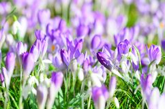Field Full Of Croci Detail Royalty Free Stock Images