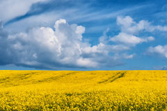 Field full off rapeseed Royalty Free Stock Photo