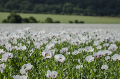 Field full of Opium Poppy plants(Papaver somniferu Stock Photos