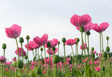 Field full of pink poppies Stock Images