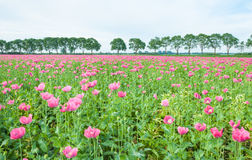 Field full of pink poppies Stock Photo