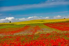 Rows of poppies and sky stock photos