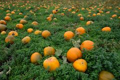 Field full of pumpkins - pick your own for halloween royalty free stock images