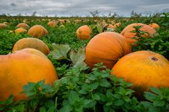Field full of pumpkins - pick your own for halloween stock images