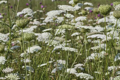 A Field Full Of Queen Anne's Lace - Daucus carota Stock Photo