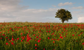 Field full of red beautiful poppy anemone and a lonely tree. Stock Photos