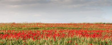 Field full with red  poppie anemones. Royalty Free Stock Images