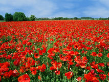 Field full of red poppies Stock Photography