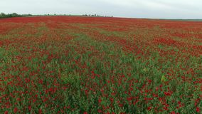 Field full of red poppies stock footage