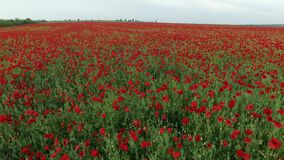Field full of red poppies stock video footage