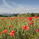 Field full of red poppies and other summer flowers near old village on hill in french provence Royalty Free Stock Image