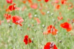 Field Full Of Red Poppy Wildflowers Stock Photos