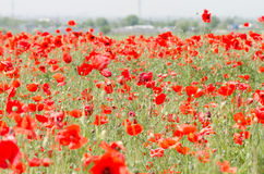 Field Full Of Red Poppy Wildflowers Stock Photography