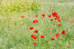 Field Full Of Red Poppy Wildflowers Royalty Free Stock Photos