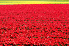 Field full of red and yellow tulips in bloom Royalty Free Stock Photo