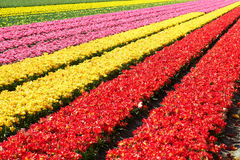 Field full of red and yellow tulips in bloom Royalty Free Stock Images