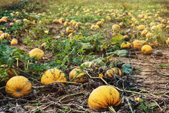 Field full of ripe pumpkins Royalty Free Stock Images