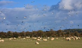 Field full of sheep and birds Royalty Free Stock Images