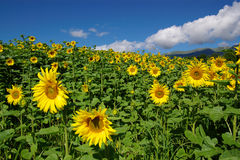 Field full of sunflowers. Summer field full of flowering yellow sunflowers Royalty Free Stock Images
