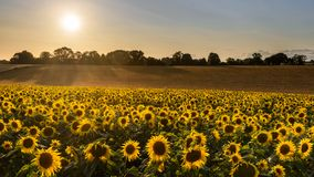 Sunflower harvest on a summer evening Stock Image