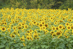 A field full of Sunflowers in bloom. Stock Photo