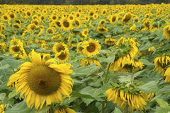 A field full of Sunflowers in bloom. Royalty Free Stock Image