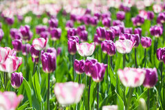 Field full of tulips delicate lilac color Royalty Free Stock Images