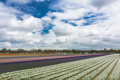 Field full of tulips Stock Images