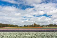 Field full of tulips Royalty Free Stock Photography