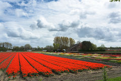 Field full of tulips. Field full of tulip flower in Netherlands royalty free stock images