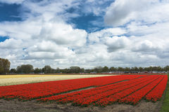 Field full of tulips. Field full of tulip flower in Netherlands royalty free stock photos