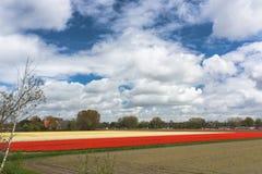Field full of tulips. Field full of tulip flower in Netherlands royalty free stock photo