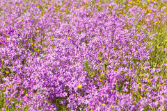 Field full of violet flowers Royalty Free Stock Photos