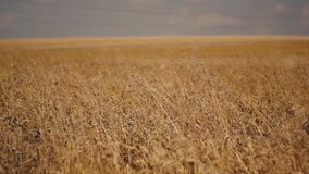 Field full of wheat stock video footage