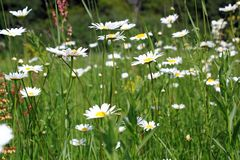 Field full of wild daisies Stock Photos
