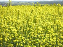 Field Full of Yellow Flowers. A vast field overflowing with yellow rapeseed flowers stock photo