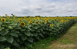 Field full of yellow sunflowers with opened petals on cloudy day. Field full of blooming sunflowers with opened yellow petals and large green leafs, and with stock photos