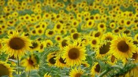 Field Funflowers stock video
