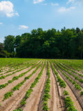 Field with furrows Royalty Free Stock Image