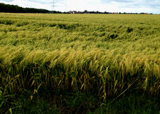 Field of German Wheat. Wheat field looking towards the town of Tripsrath, Germany in the summer royalty free stock image