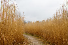 Field of Giant Miscanthus Stock Photos