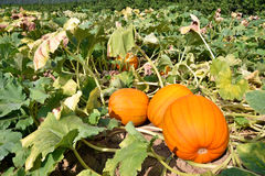 Field of giant pumpkins for Halloween. Ready for harvesting Stock Images