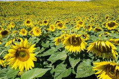 Field of Giant Sunflowers royalty free stock photography