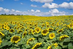 Field of Giant Sunflowers -2. A field of giant Sunflowers on a beautiful sunny autumn day located in Botetourt County, Virginia, USA Royalty Free Stock Photo