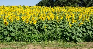 Field of Giant Sunflowers -3. A field of giant Sunflowers on a beautiful sunny autumn day located in Botetourt County, Virginia, USA royalty free stock photography