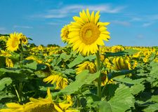 A Field of Giant Sunflowers stock photos