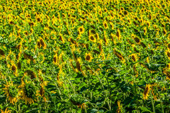 Field of giant sunflowers on a sunny summer day in France Stock Images
