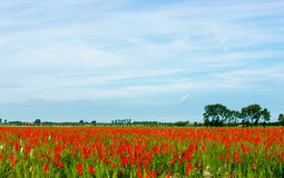 Field with gladiolus. A field with red gladiolus in the summer Stock Photography