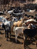 Field with goats stock photos